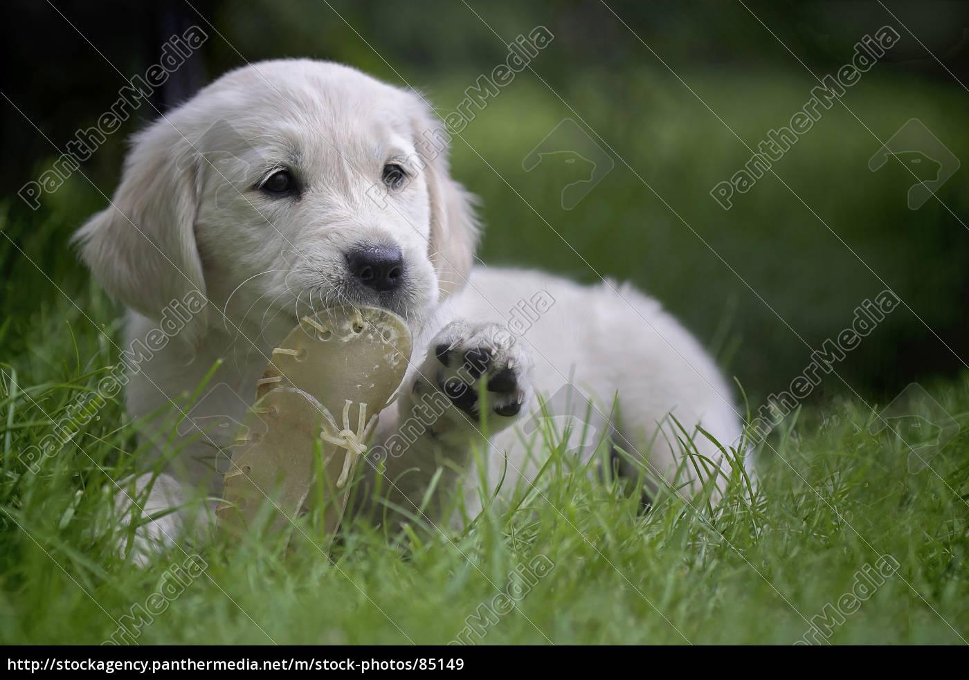 golden, retriever, puppy - 85149