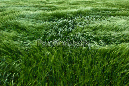 barley, in, the, wind - 86308