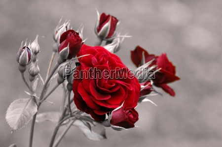 red, red, roses - 86999