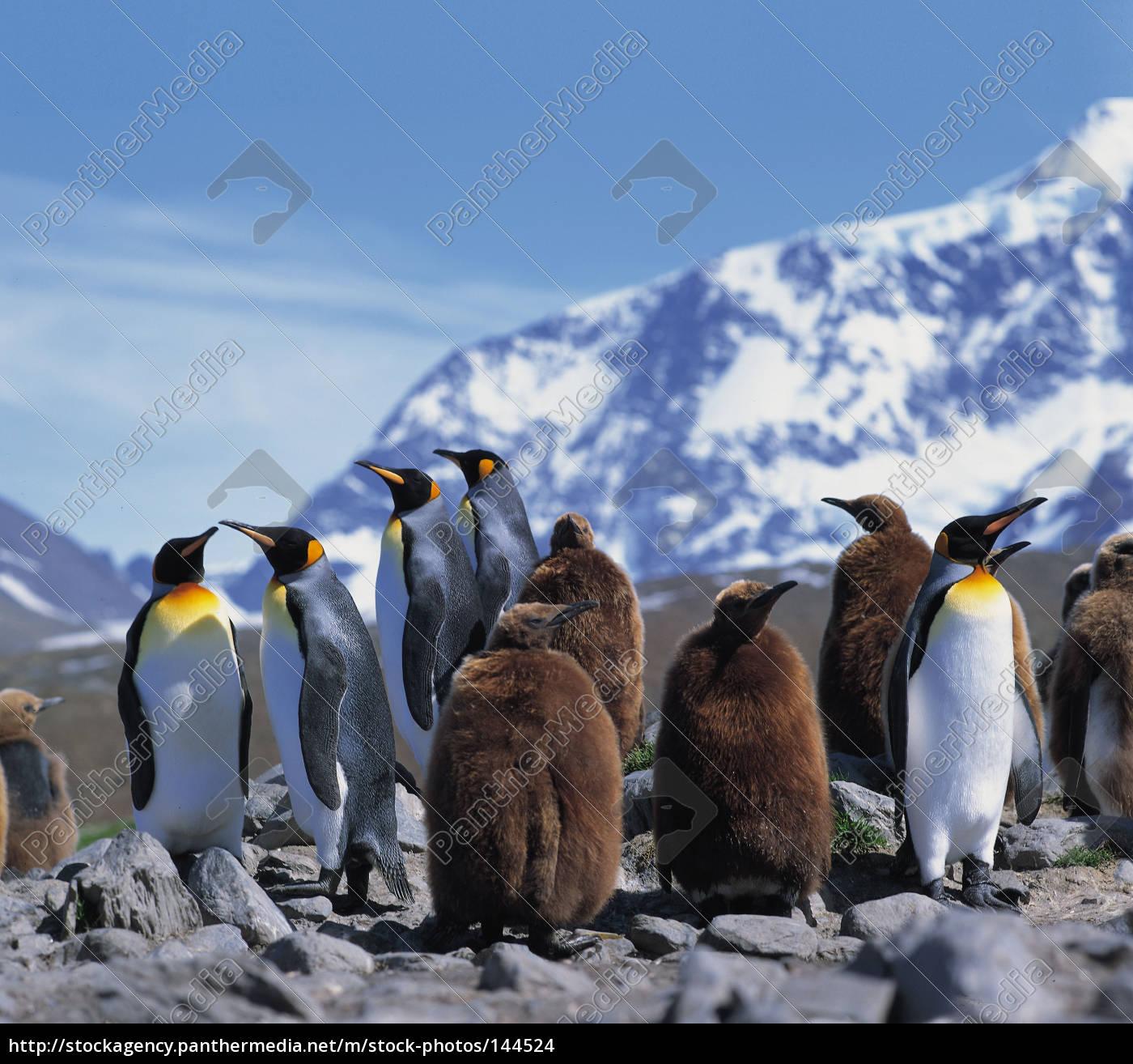king, penguins - 144524