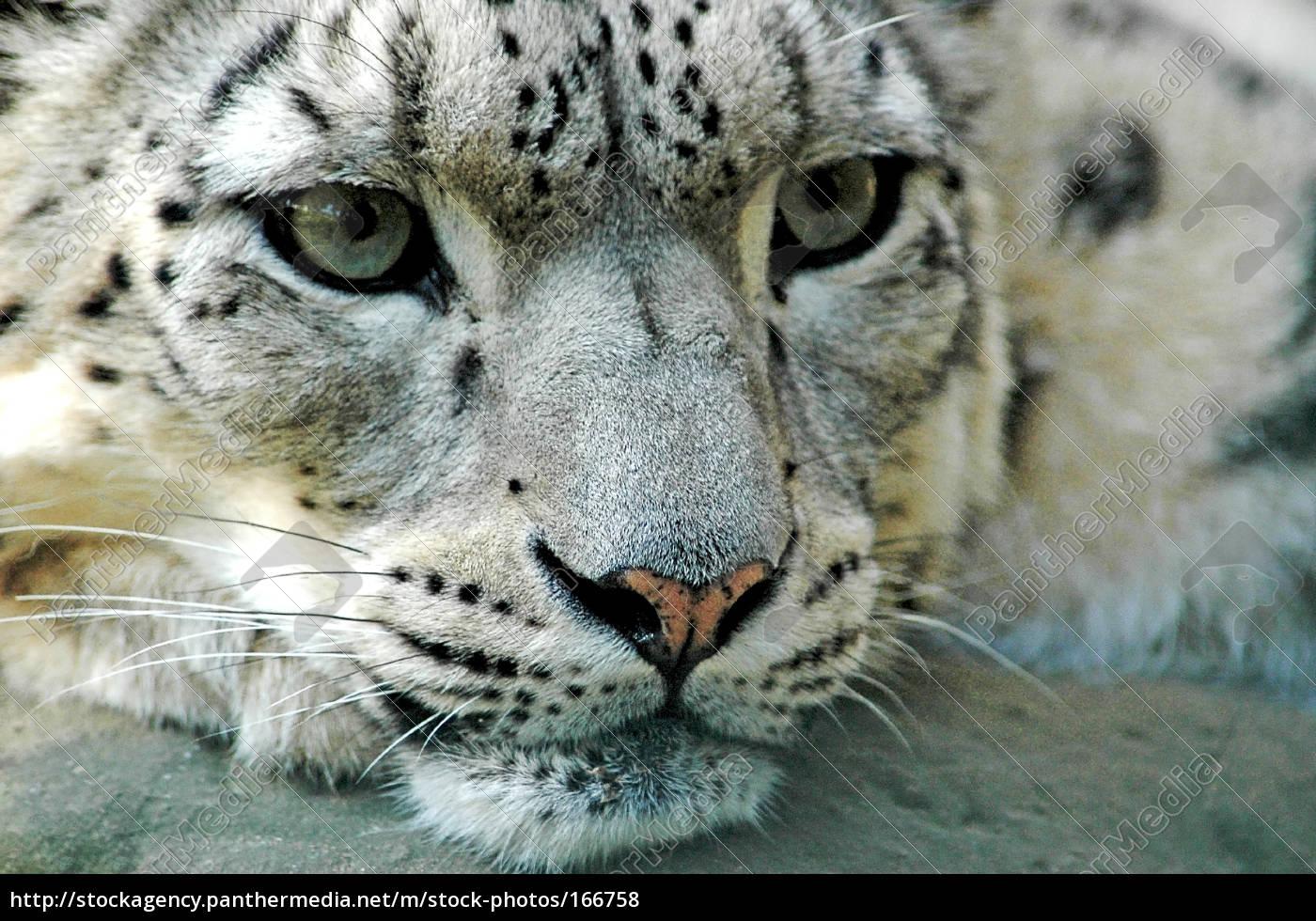 snow, leopard, 2 - 166758