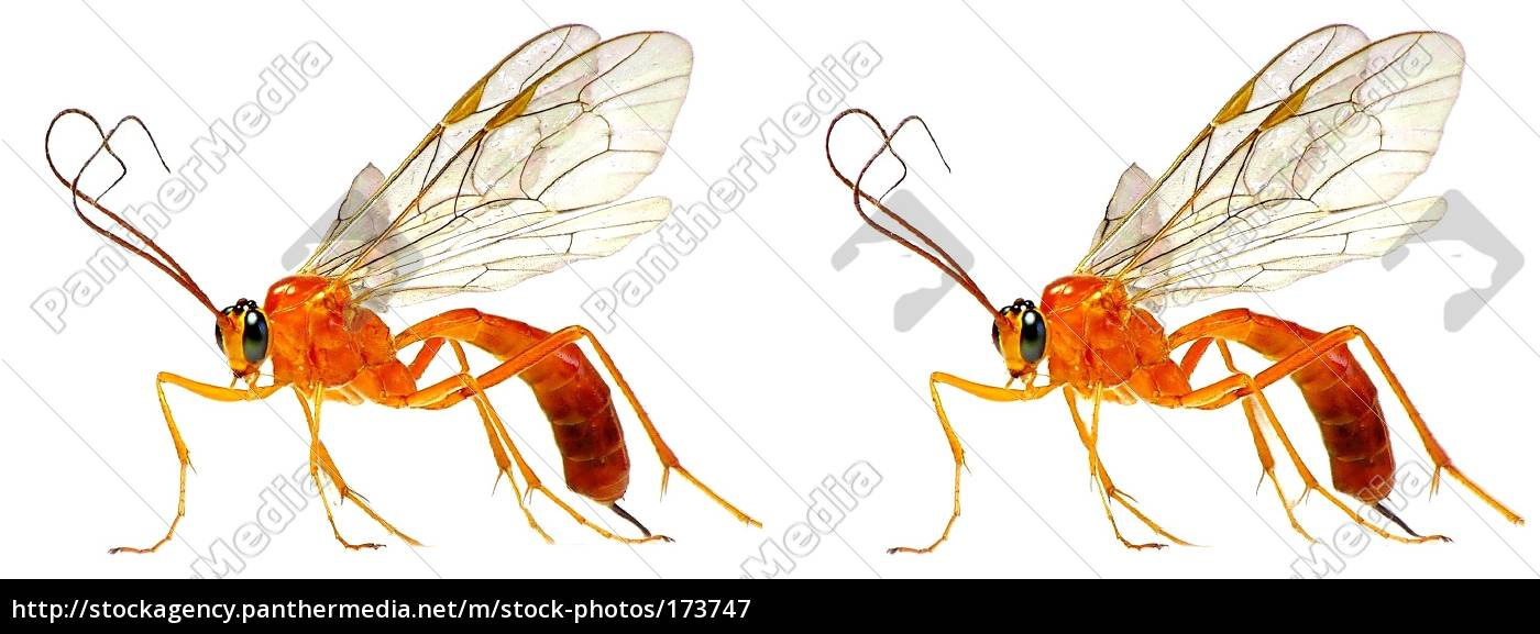 sickle, wasp, (3d, cross, eyed) - 173747