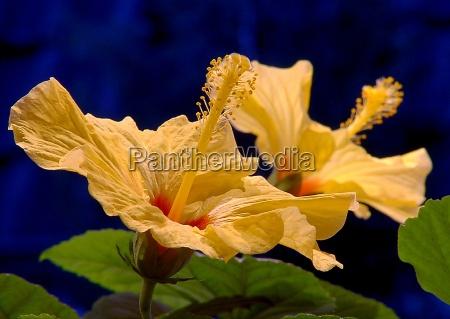 hibiscusbluete