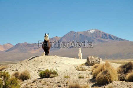 alpacas, in, the, andes - 219602