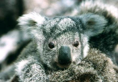 koala, baby - 236976