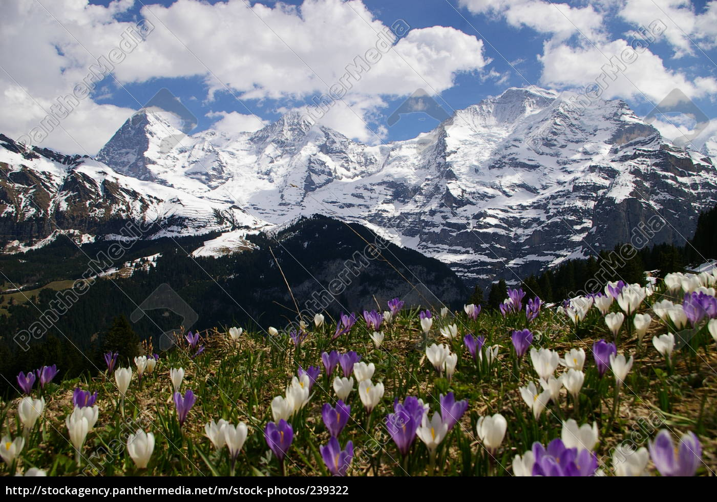 eiger, with, crocus - 239322
