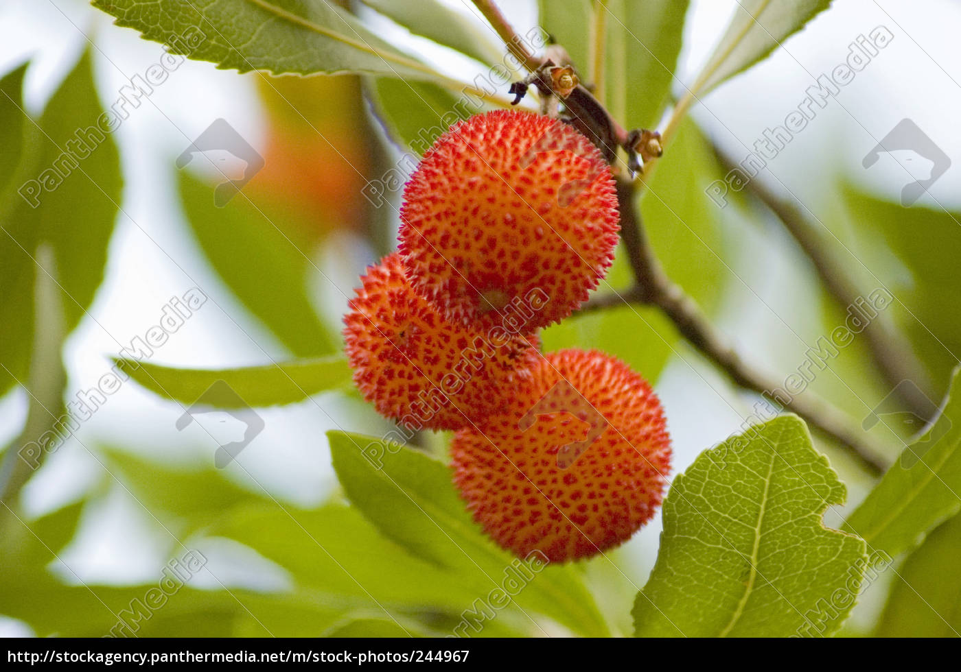 strawberry, tree, fruits, 2 - 244967