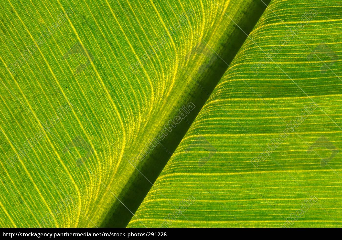 banana, leaf - 291228