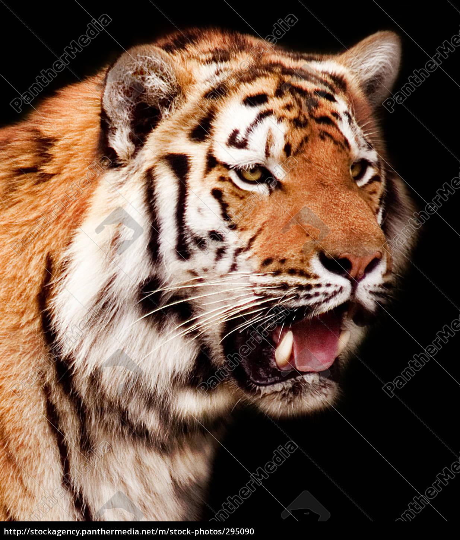 tiger - 295090