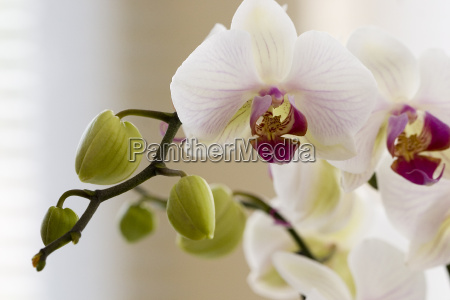 orchid - 296646