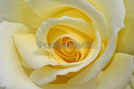 rose - 298756