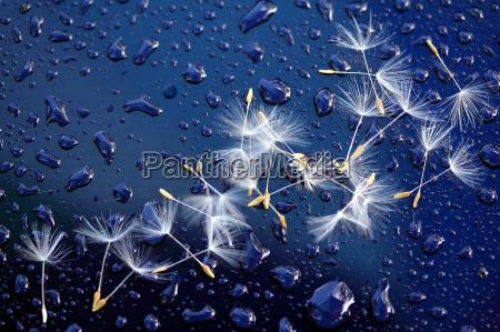 dandelion, seeds, i - 304388