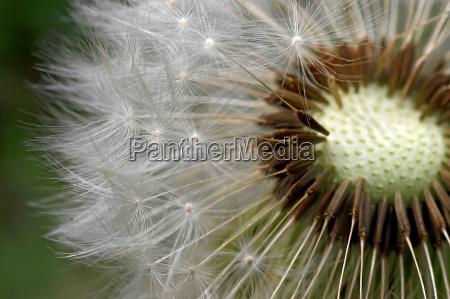 dandelion - 308157