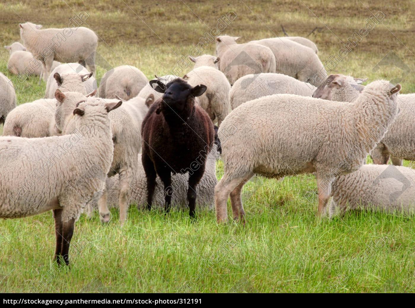 black, sheep - 312191