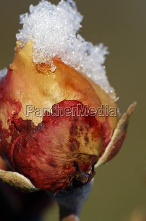 winter, rose - 1649085