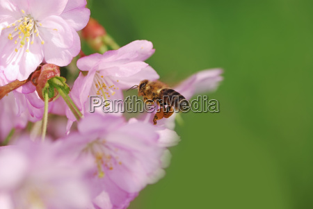 honeybee at pink cherry blossoms