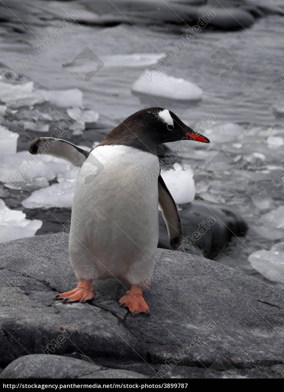 gentoo, penguin, waving, - 3899787