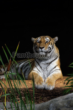 tiger, in, the, sun - 3899725
