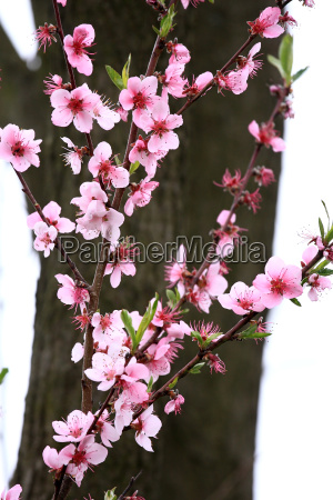 beautiful, peach, blooms, in, spring, , before - 3926379