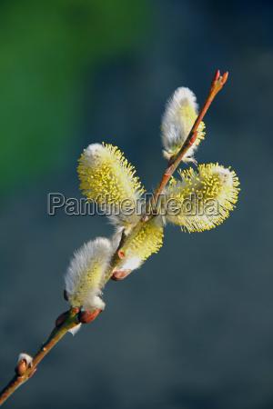 spring willow catkin nature palmkaetzchen