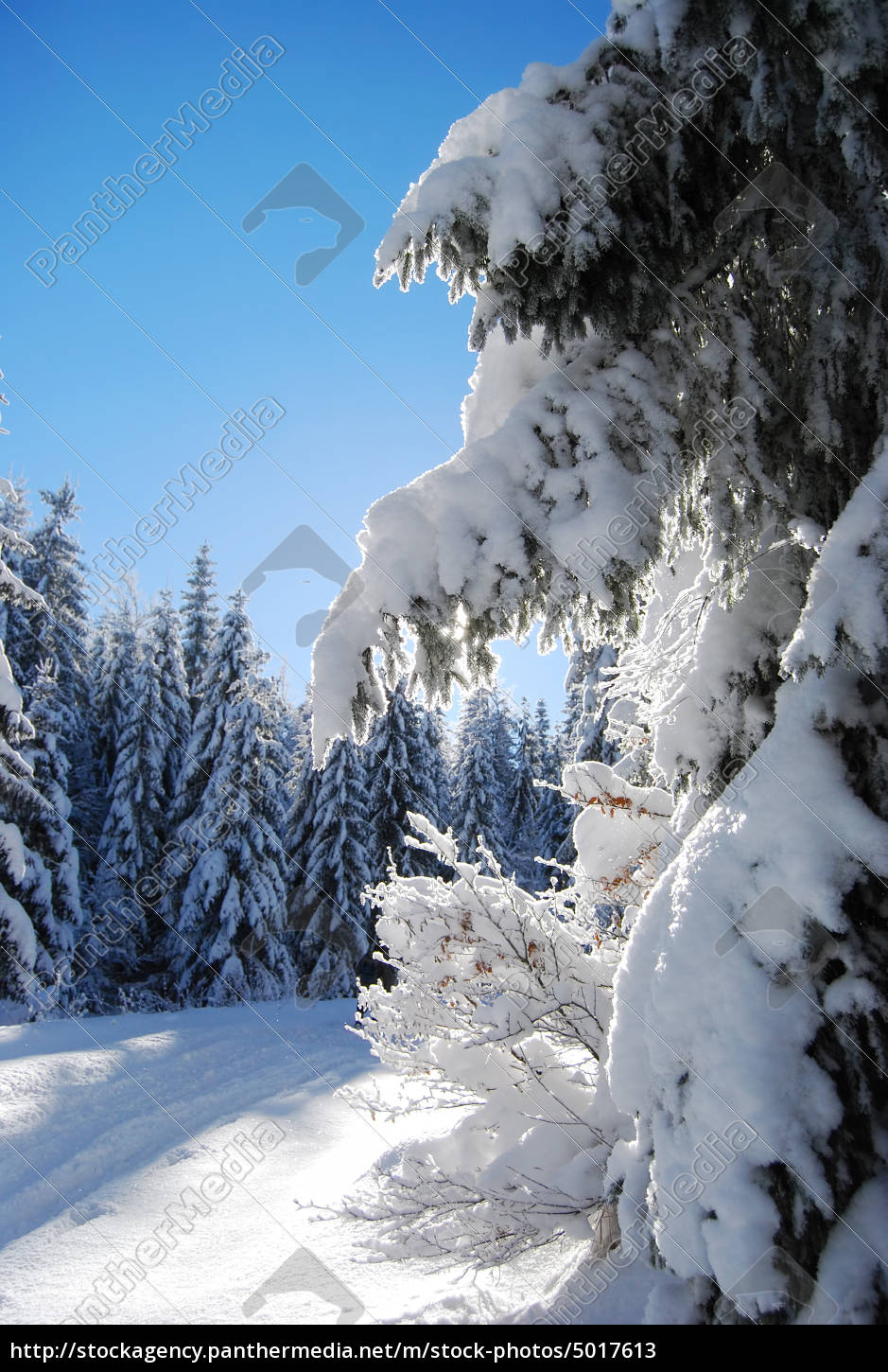 pines, covered, snow, - 5017613