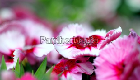 dianthus corona cherry magic