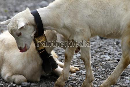 goat switzerland he goat goat cheese