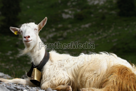 swiss goat on the mountain