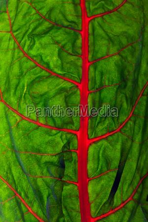 back lit chard leaf