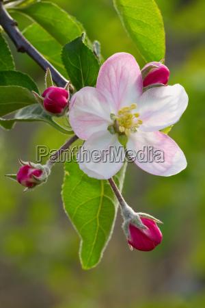 apple flower
