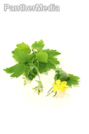 homeopathy medicinal plant naturopathy homeopathic schoellkraut