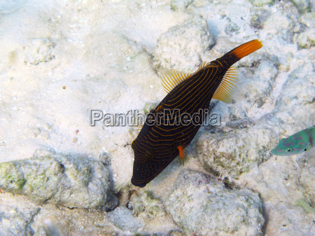 orange striped trigger fish balistapus undulatus