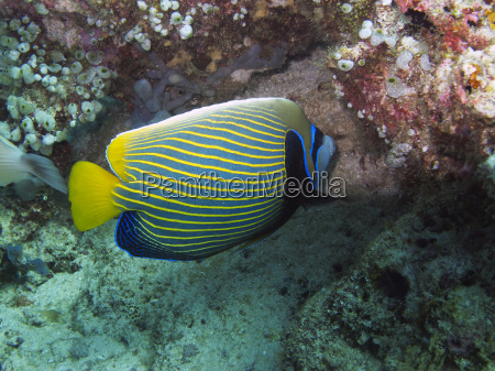 imperial angelfish pomacanthus imperator