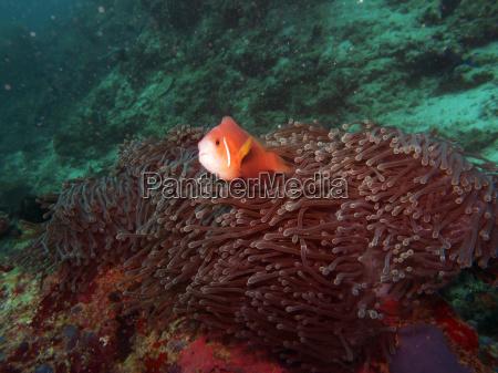 maldives anemone fish amphiprion nigripes