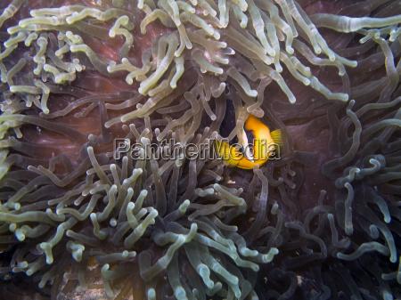 clark039s anemonefish amphiprion clarkii