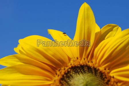 blue flower sunflower plant fly shine