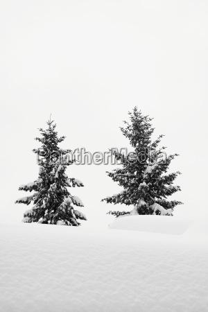 tree winter fir tree snowy conifer