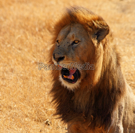 lion talking