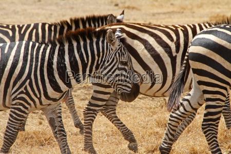 scarred old zebra