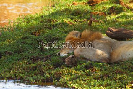lazy river lion