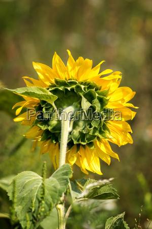 close up of a mature sunflower
