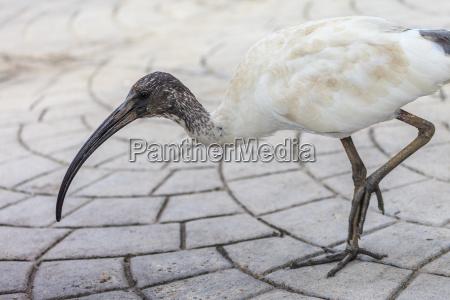 australian, ibis - 15603130