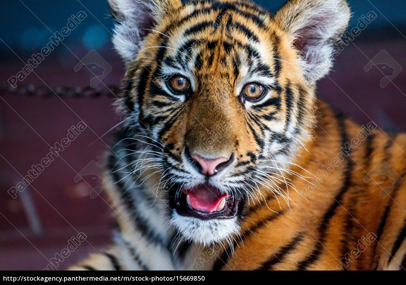 baby, tiger - 15669850