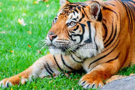 pre-pounce, tiger - 15669890