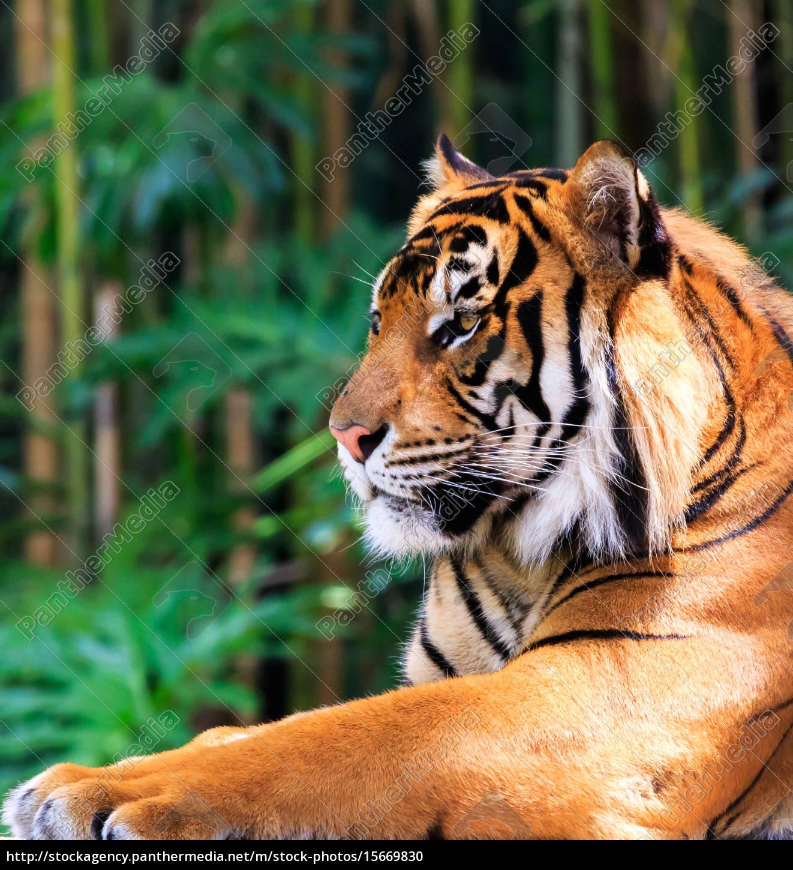 regal, tiger - 15669830