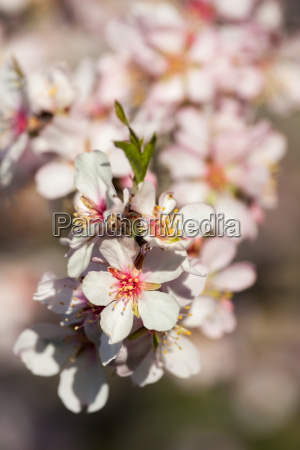 beautiful almond flowers in spring