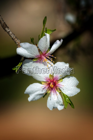 close up of beautiful almond flowers