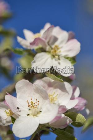 close up of apple malus domestica