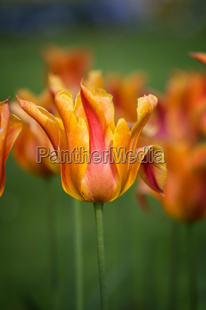 beautiful yellow tulips in spring