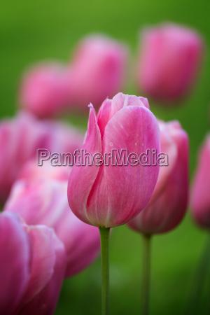 beautiful purple tulip in spring
